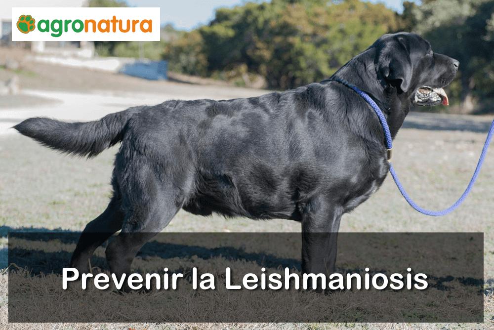 prevenir la leishmaniosis
