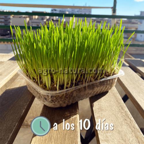 hierba para gatos nobby agronatura reus