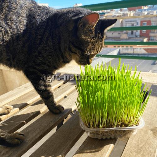 hierba para gatos nobby reus agronatura catnip