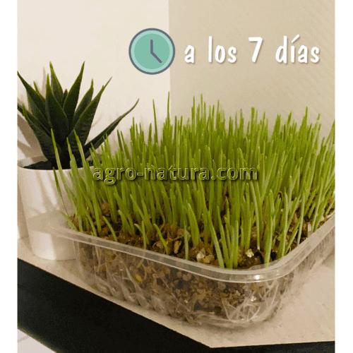hierba para gatos agronatura reus tarragona